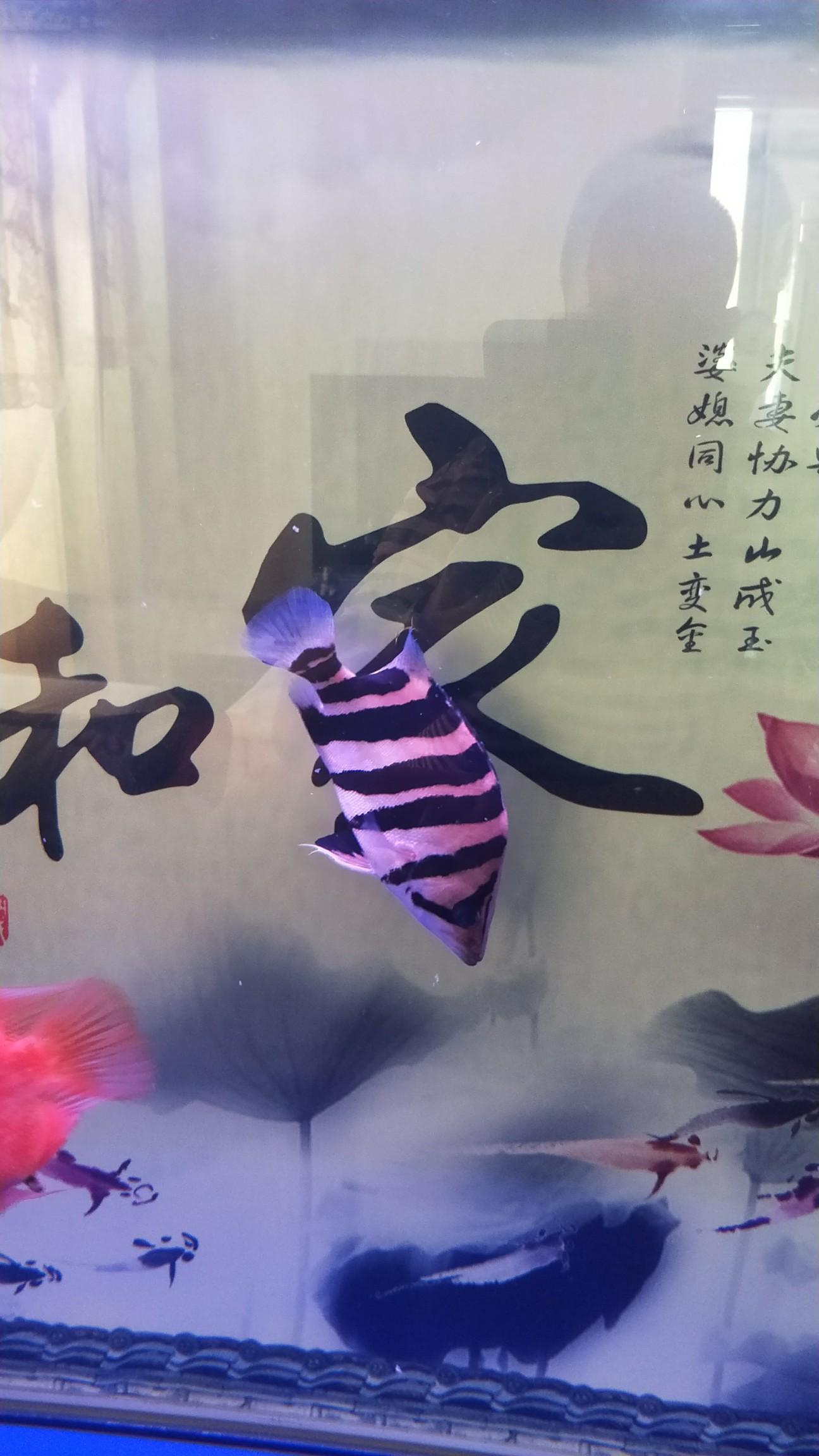 【西安最贵最好龙鱼】虎[emoji:8J+QoA==] 西安龙鱼论坛 西安博特第1张