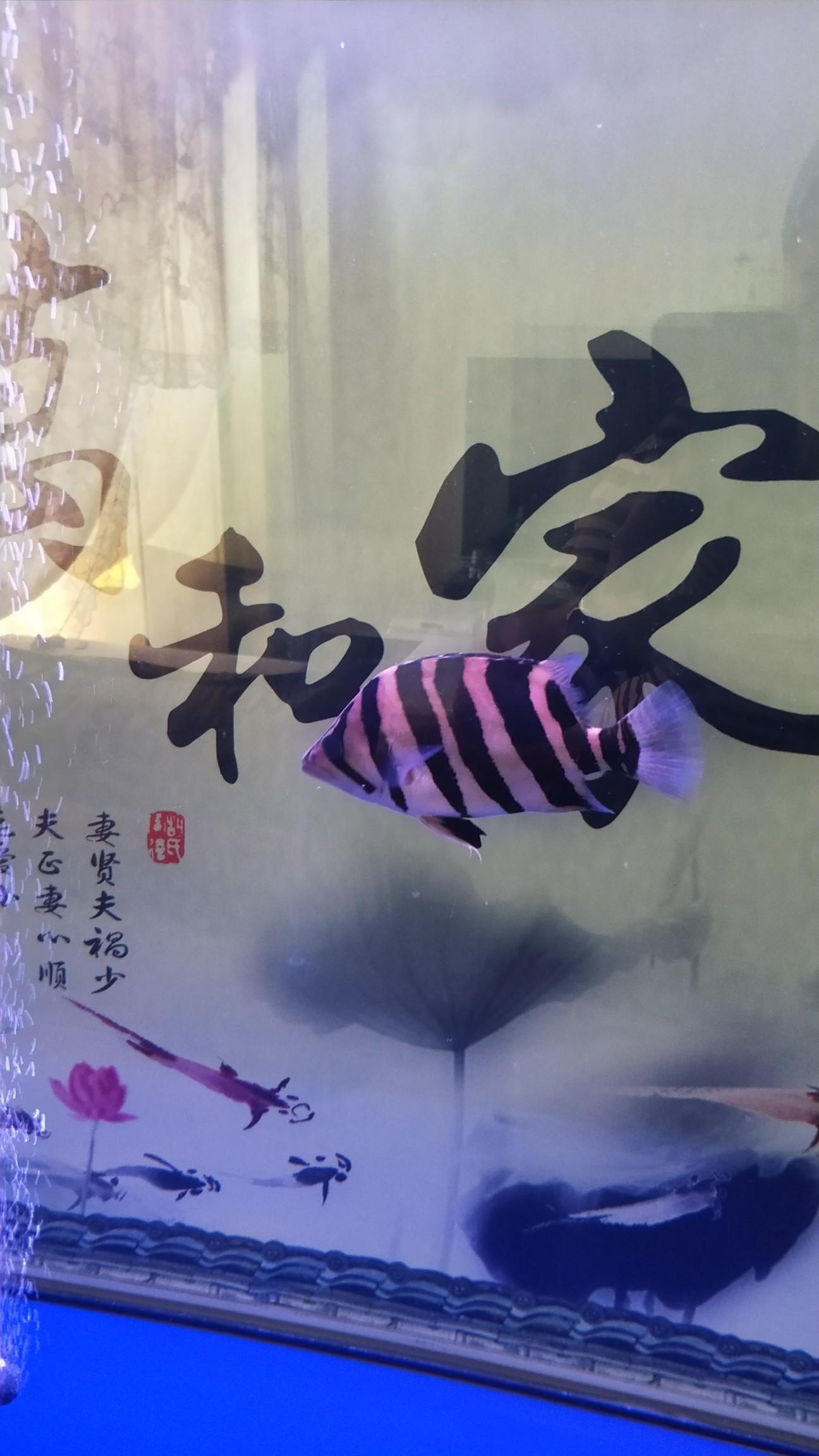 【西安最贵最好龙鱼】虎[emoji:8J+QoA==] 西安龙鱼论坛 西安博特第3张