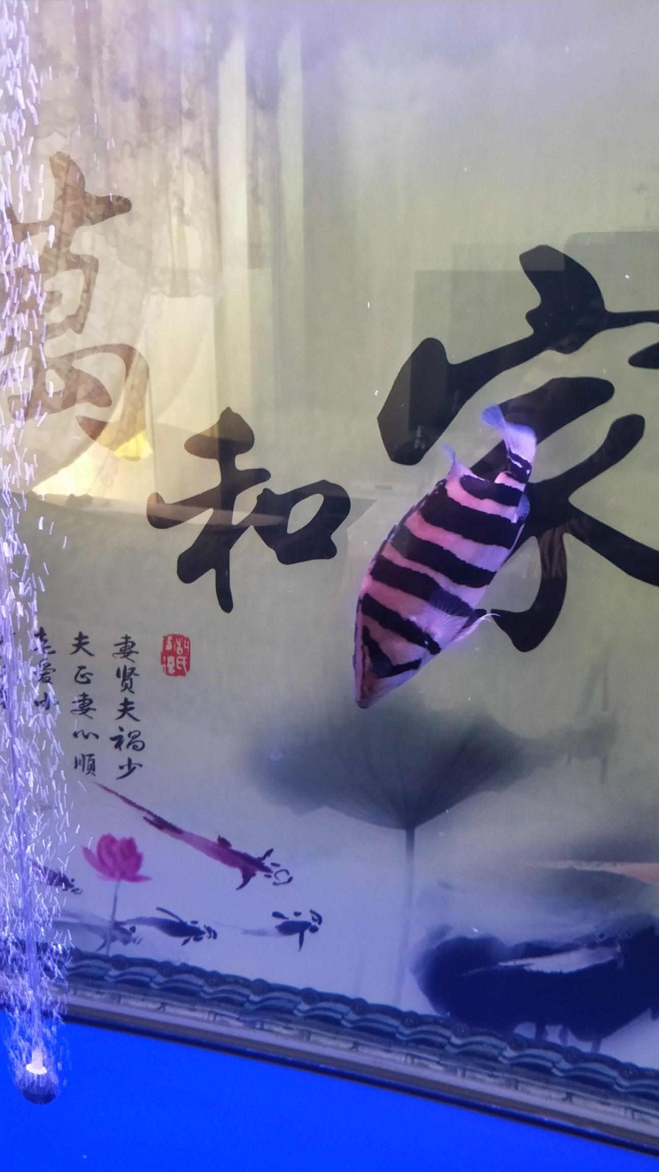 【西安最贵最好龙鱼】虎[emoji:8J+QoA==] 西安龙鱼论坛 西安博特第2张