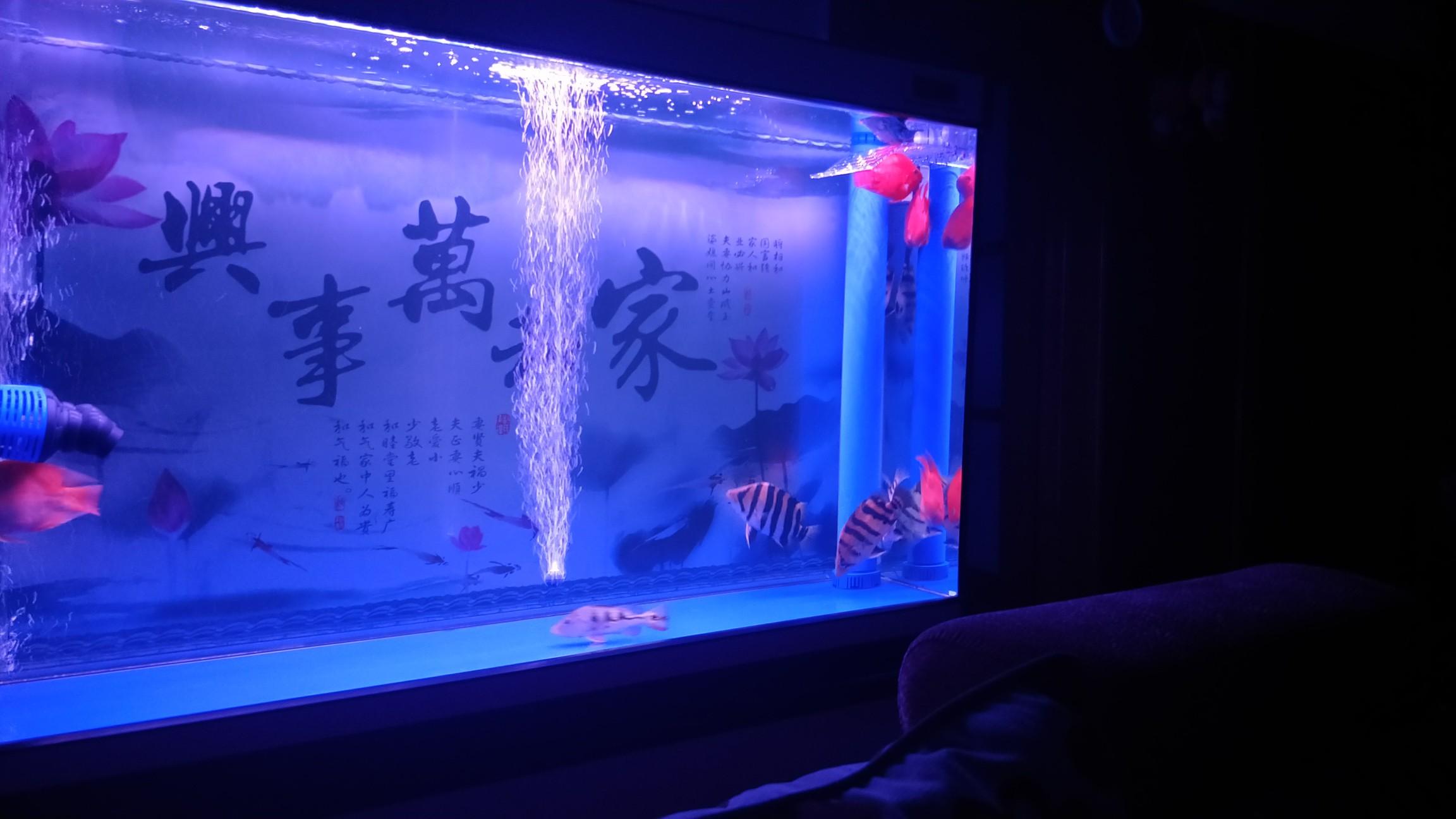 【西安最贵最好龙鱼】虎[emoji:8J+QoA==] 西安龙鱼论坛 西安博特第6张