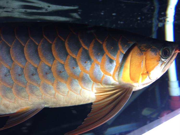 拍不出你的美 西安观赏鱼信息 西安博特第2张