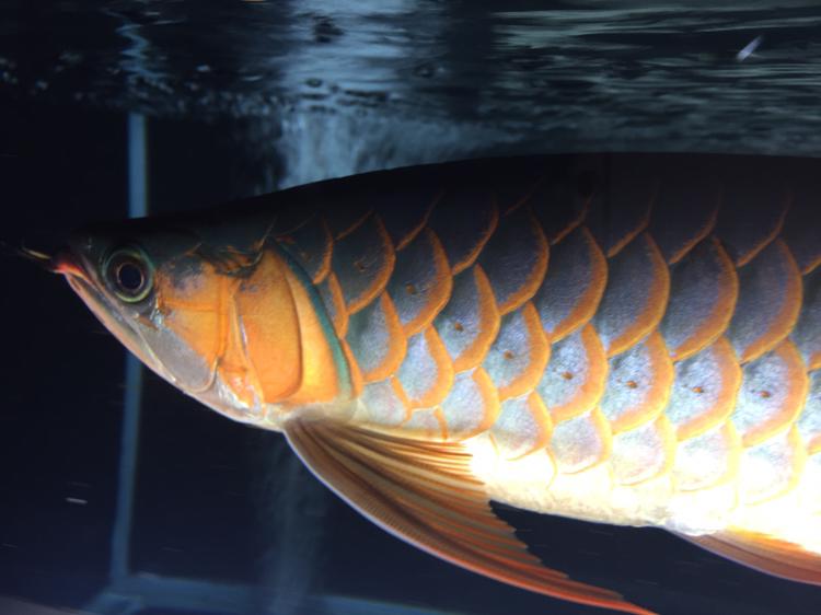 拍不出你的美 西安观赏鱼信息 西安博特第6张