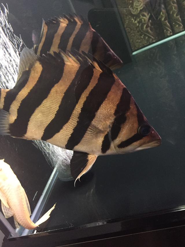 没有好鱼只是喜欢 西安龙鱼论坛 西安博特第2张