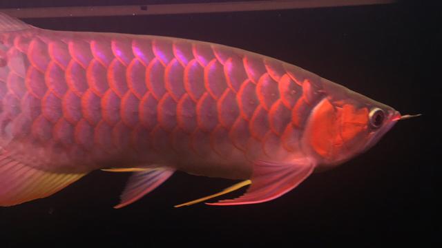 没有好鱼只是喜欢 西安龙鱼论坛 西安博特第5张