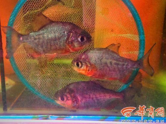 没有好鱼只是喜欢 西安龙鱼论坛 西安博特第7张
