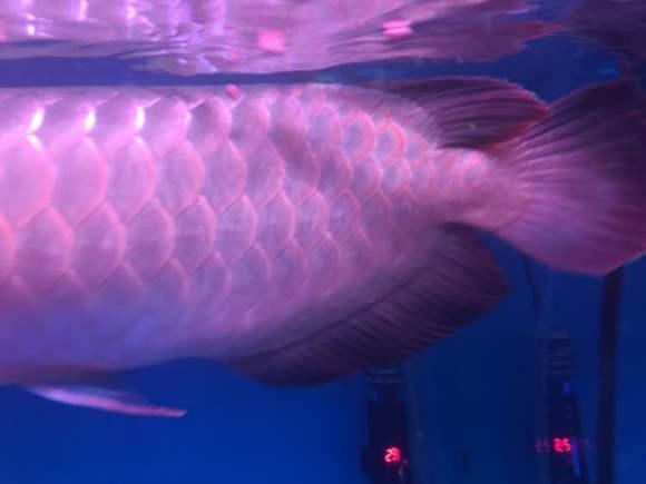 求解这条是红福王吗 西安龙鱼论坛 西安博特第2张