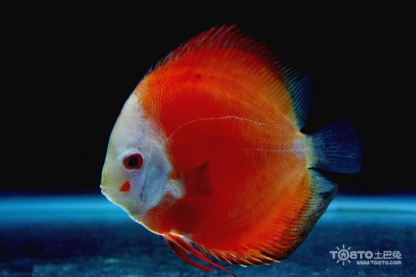 求解这条是红福王吗 西安龙鱼论坛 西安博特第6张