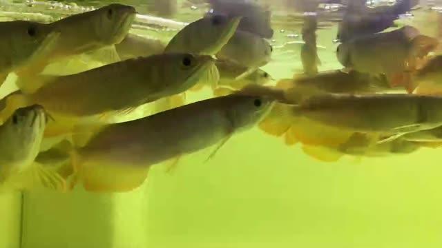 西安琉璃新加坡号半红龙鱼(练手红龙鱼)