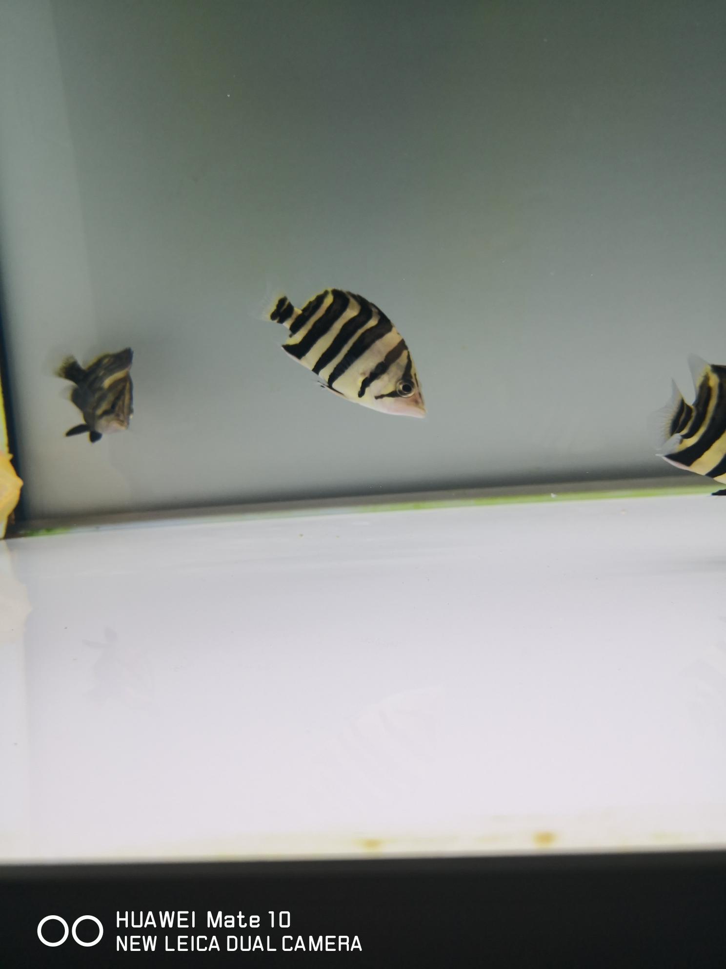 黄小猪 西安观赏鱼信息 西安博特第2张