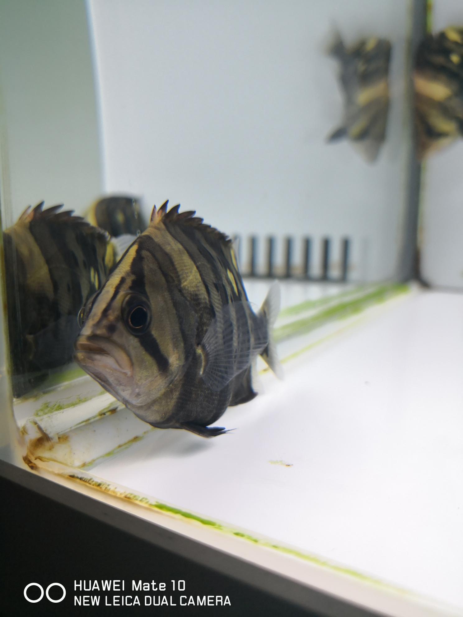 黄小猪 西安观赏鱼信息 西安博特第3张