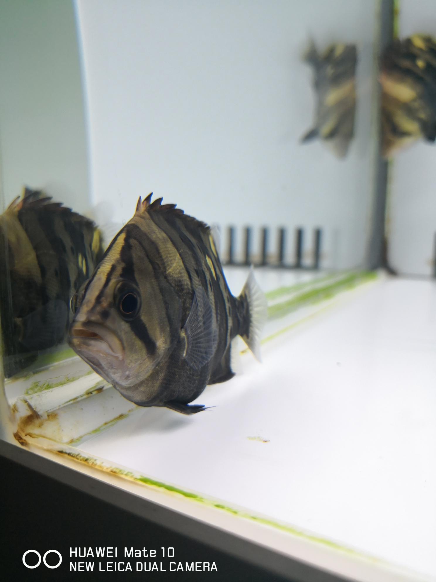 黄小猪 西安观赏鱼信息 西安博特第7张