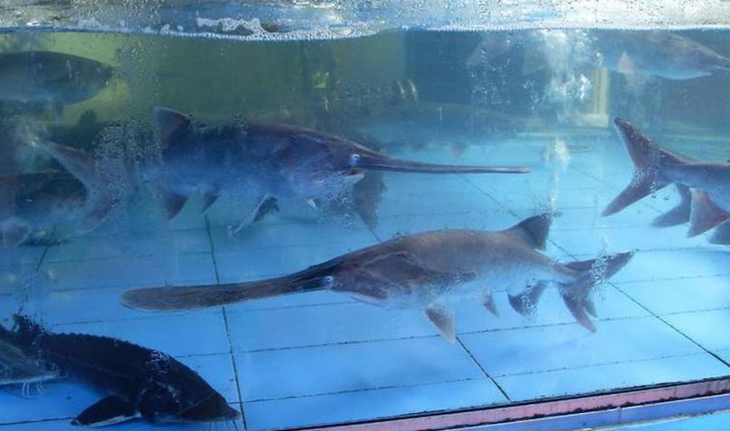 新手新缸养孔雀求大神指点 西安观赏鱼信息
