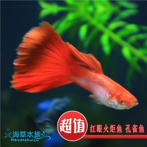 【西安观赏鱼专用药】家有小龙初长成 西安龙鱼论坛 西安博特第2张