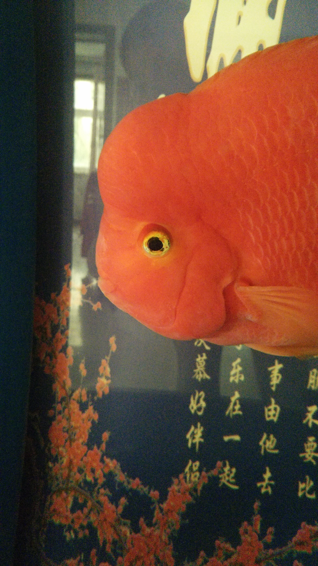 【西安慈鲷鱼】今晚直播请假 西安观赏鱼信息 西安博特第3张