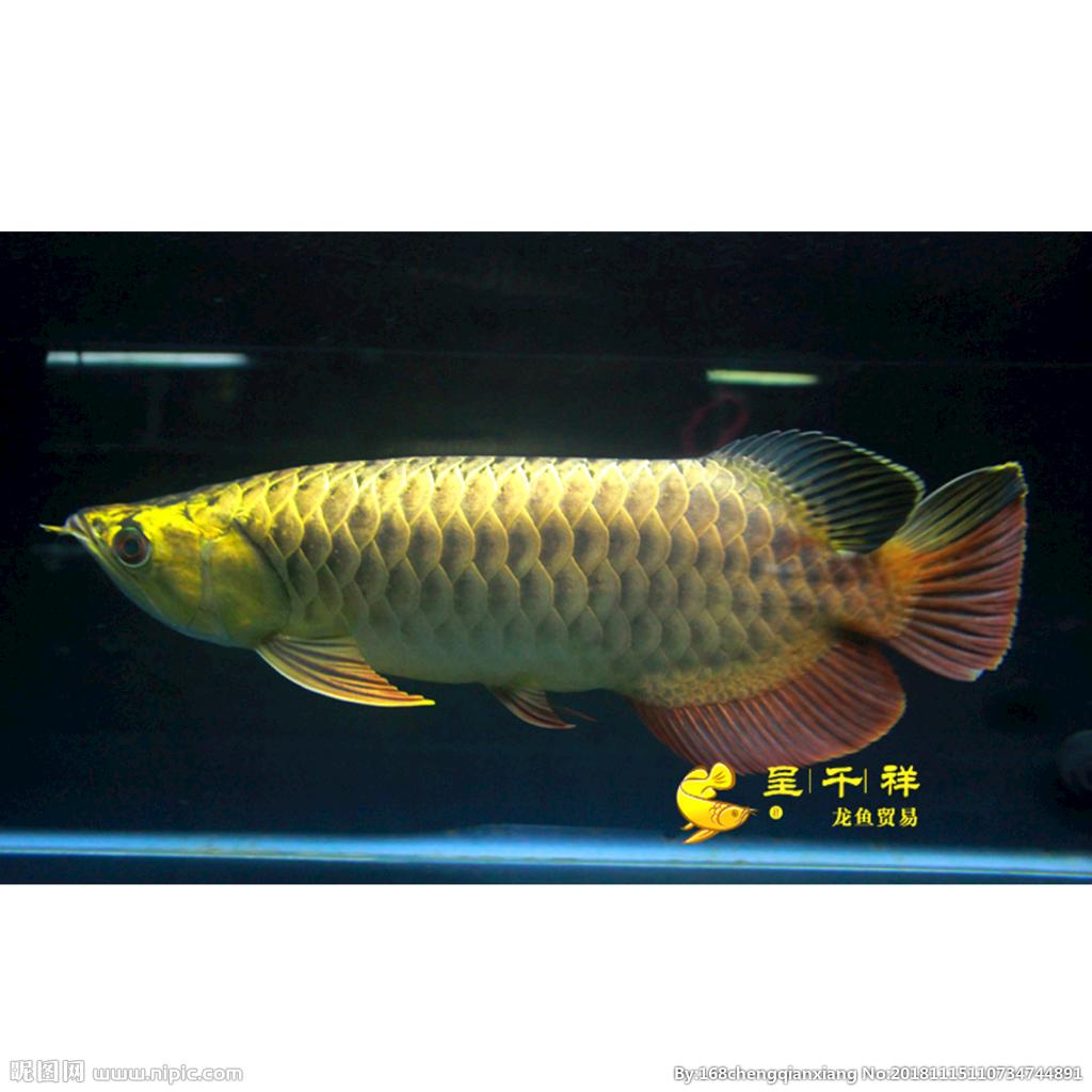 【西安慈鲷鱼】今晚直播请假 西安观赏鱼信息 西安博特第4张