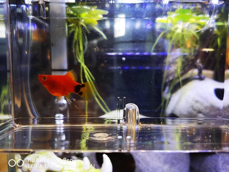 【西安观赏鱼】请教下大家这条玛丽是吃多了还是有了 西安观赏鱼信息 西安博特第2张