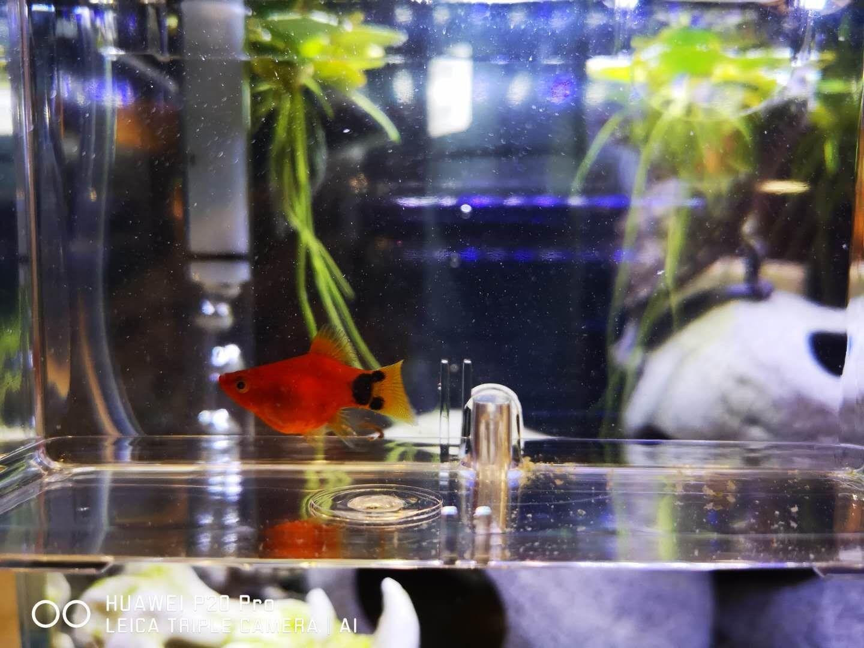 【西安观赏鱼】请教下大家这条玛丽是吃多了还是有了 西安观赏鱼信息 西安博特第1张