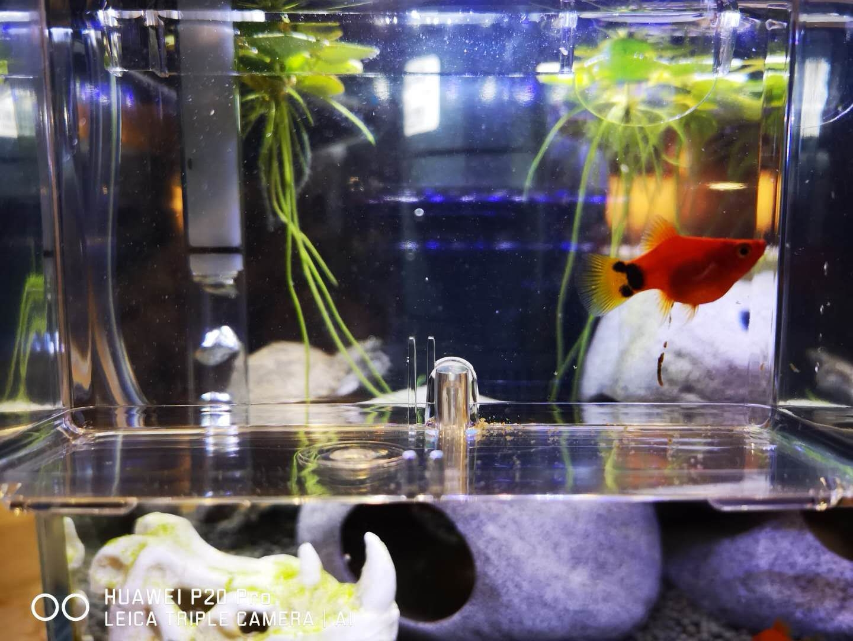 【西安观赏鱼】请教下大家这条玛丽是吃多了还是有了 西安观赏鱼信息 西安博特第3张