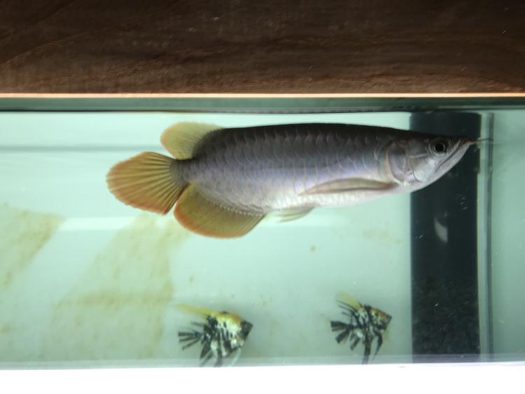 又上当 西安观赏鱼信息 西安博特第2张