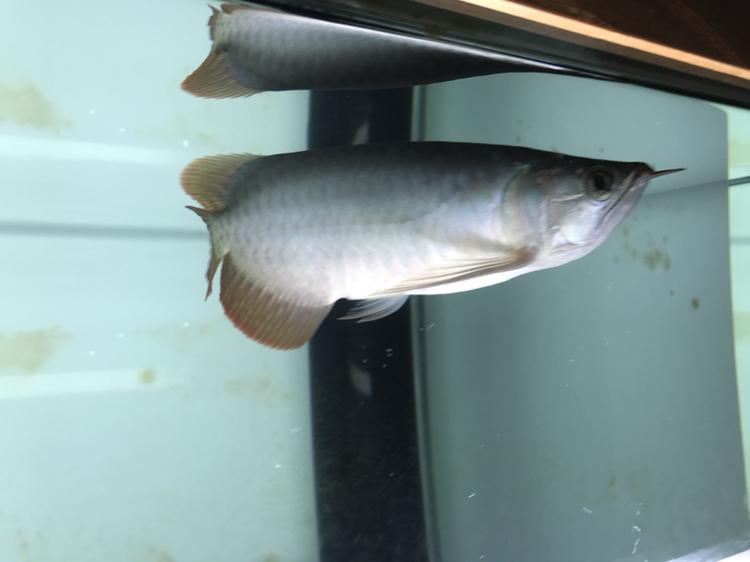 又上当 西安观赏鱼信息 西安博特第4张