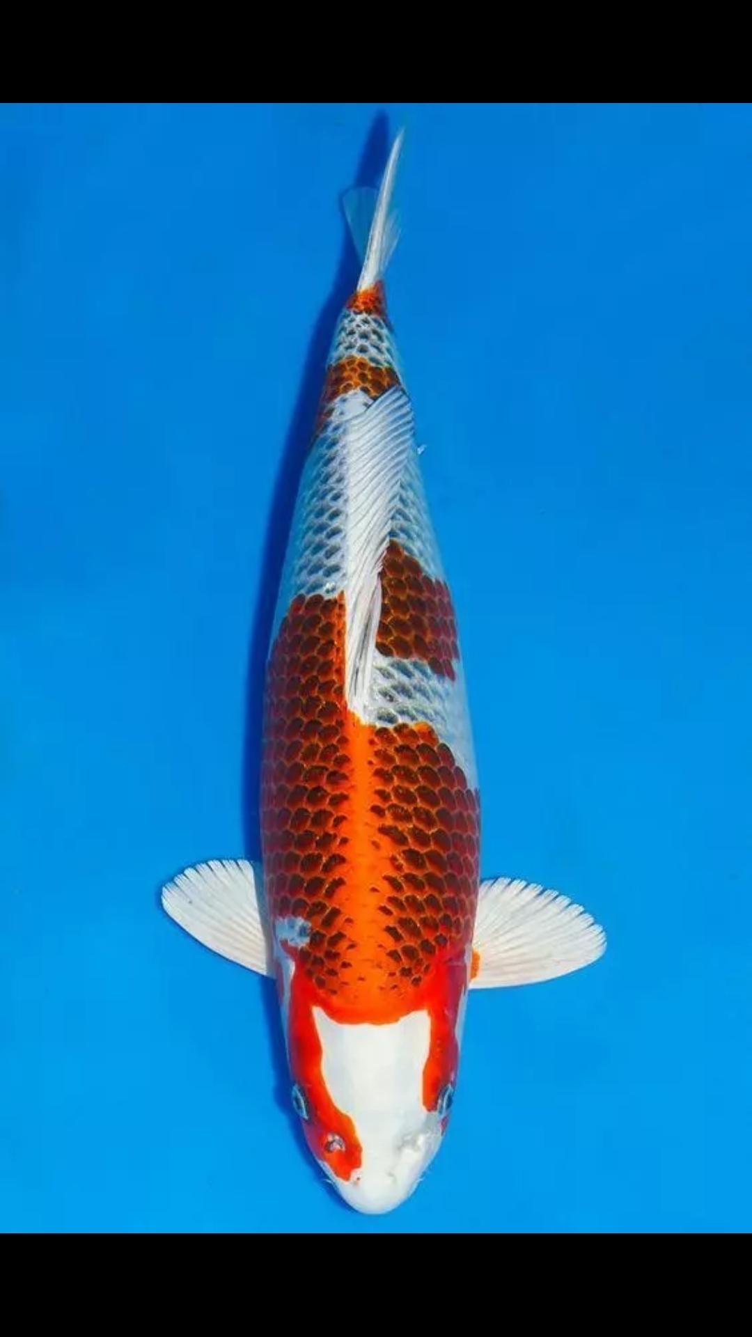 【西安白子魟鱼】锦鲤第八篇 西安观赏鱼信息 西安博特第2张