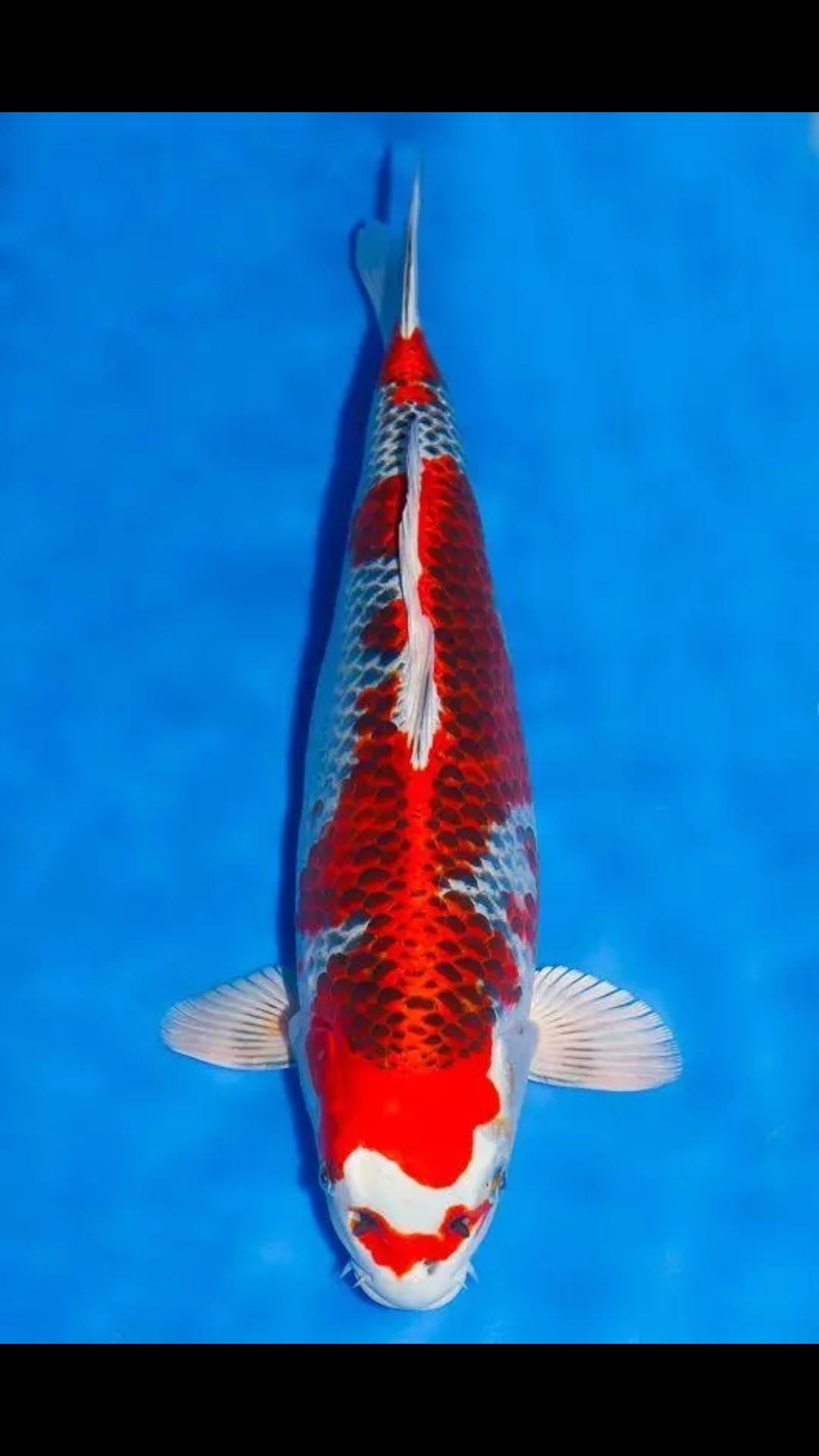 【西安白子魟鱼】锦鲤第八篇 西安观赏鱼信息 西安博特第1张