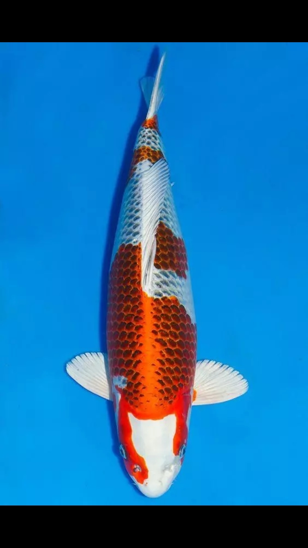 【西安白子魟鱼】锦鲤第八篇 西安观赏鱼信息 西安博特第4张