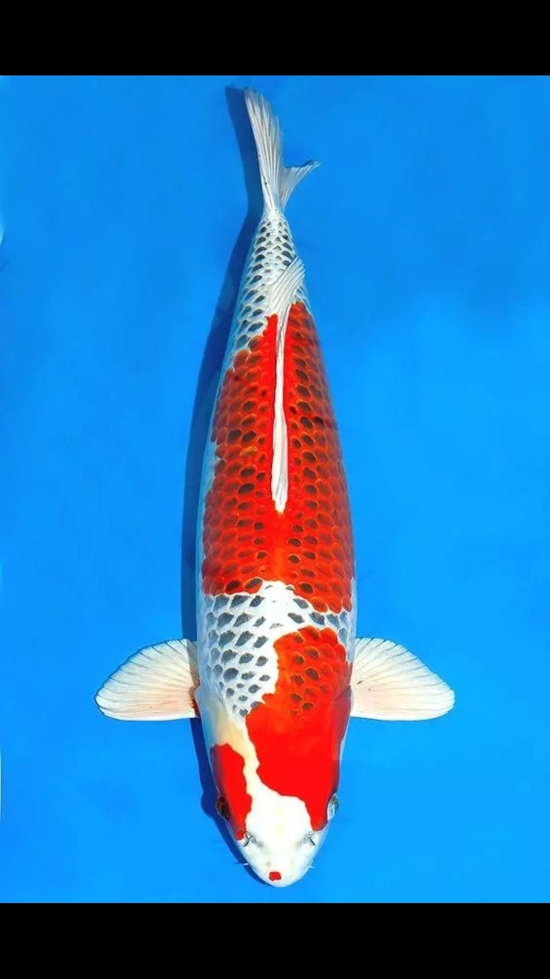 【西安白子魟鱼】锦鲤第八篇 西安观赏鱼信息 西安博特第3张