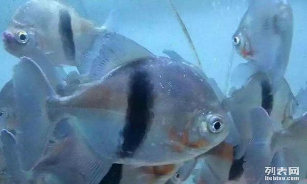 【西安四纹印尼虎苗】广州龟佬是个骗子? 西安观赏鱼信息 西安博特第6张