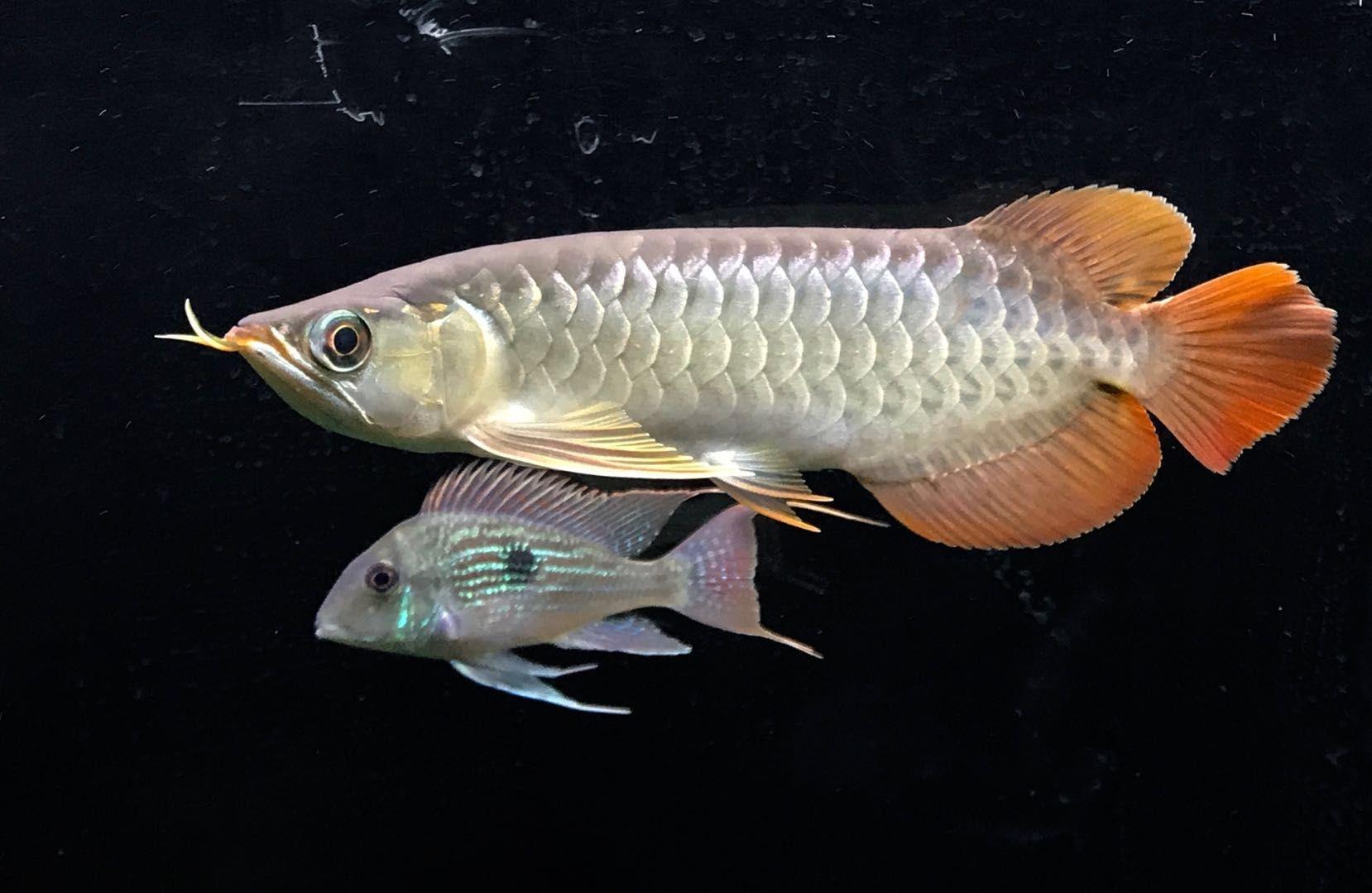 【西安三纹印尼虎苗】小鱼状态不错 西安龙鱼论坛 西安博特第2张
