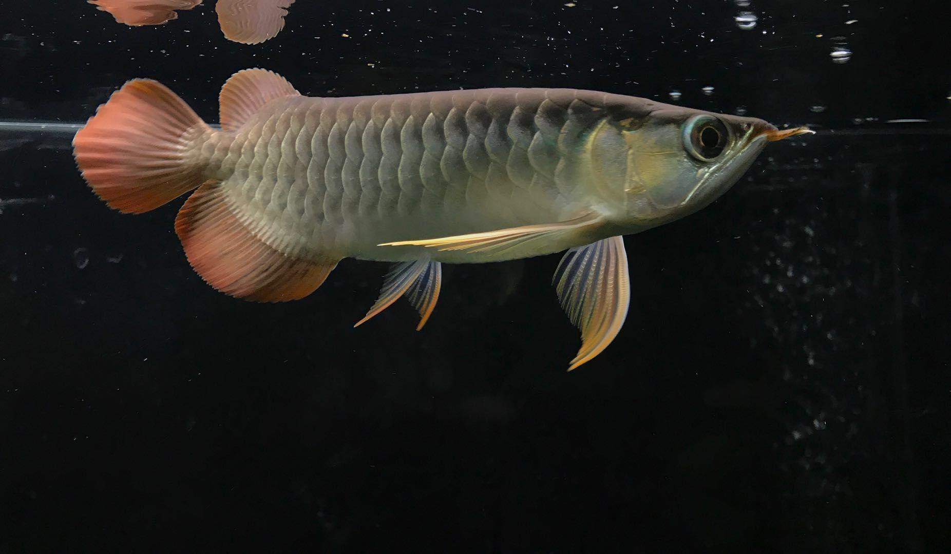 【西安三纹印尼虎苗】小鱼状态不错 西安龙鱼论坛 西安博特第5张
