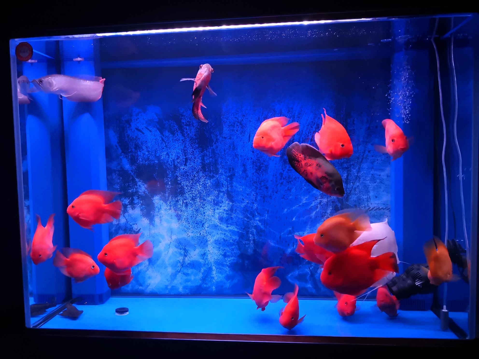 【西安哪个水族店有斑马鸭嘴】换水后总能让我惊讶左中右三视图 西安龙鱼论坛 西安博特第2张