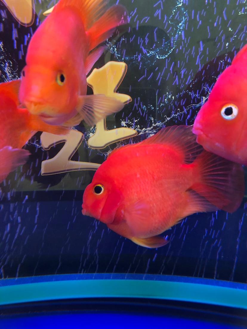 帮忙鉴定鹦鹉鱼品种 西安龙鱼论坛 西安博特第2张