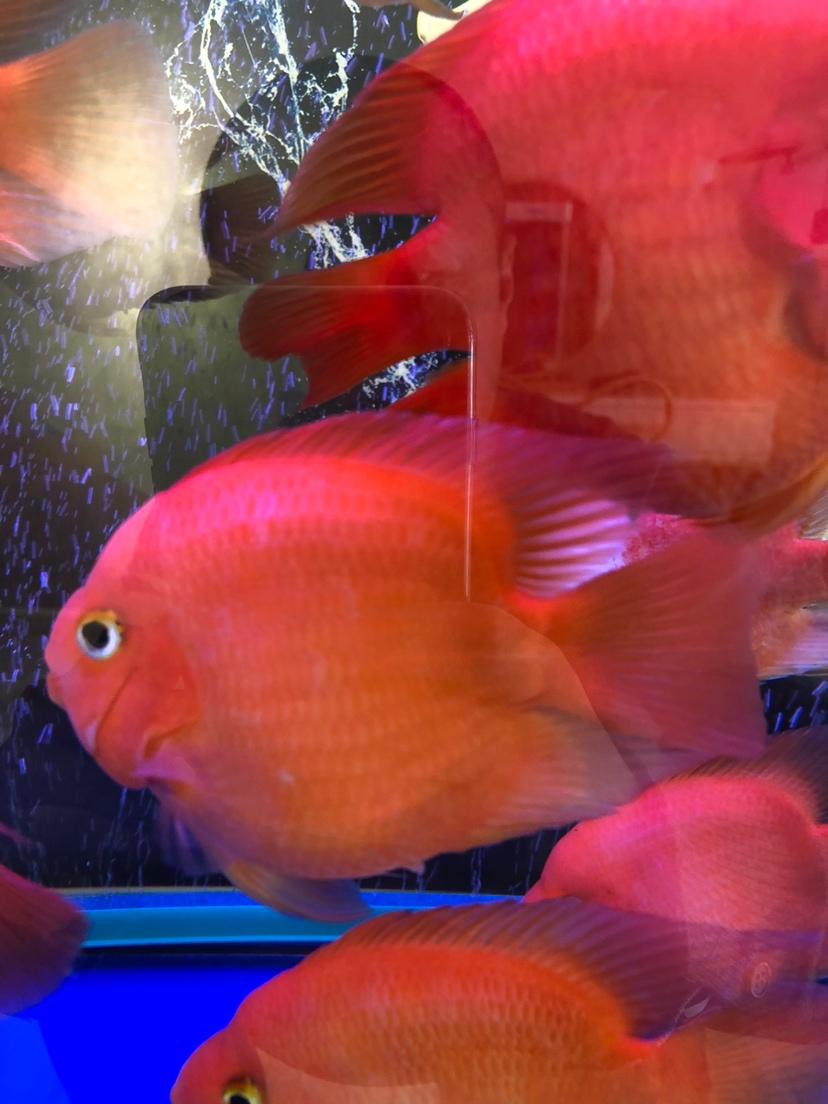 帮忙鉴定鹦鹉鱼品种 西安龙鱼论坛 西安博特第3张