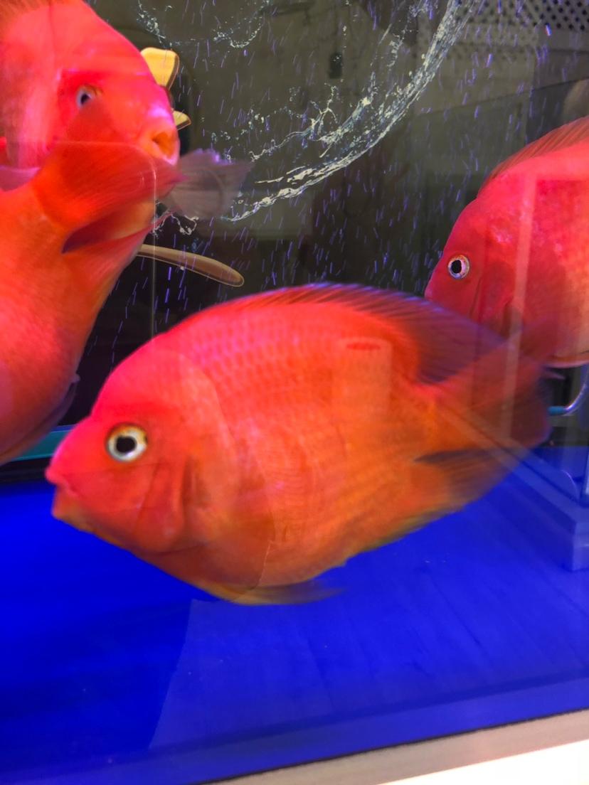 帮忙鉴定鹦鹉鱼品种 西安龙鱼论坛 西安博特第5张