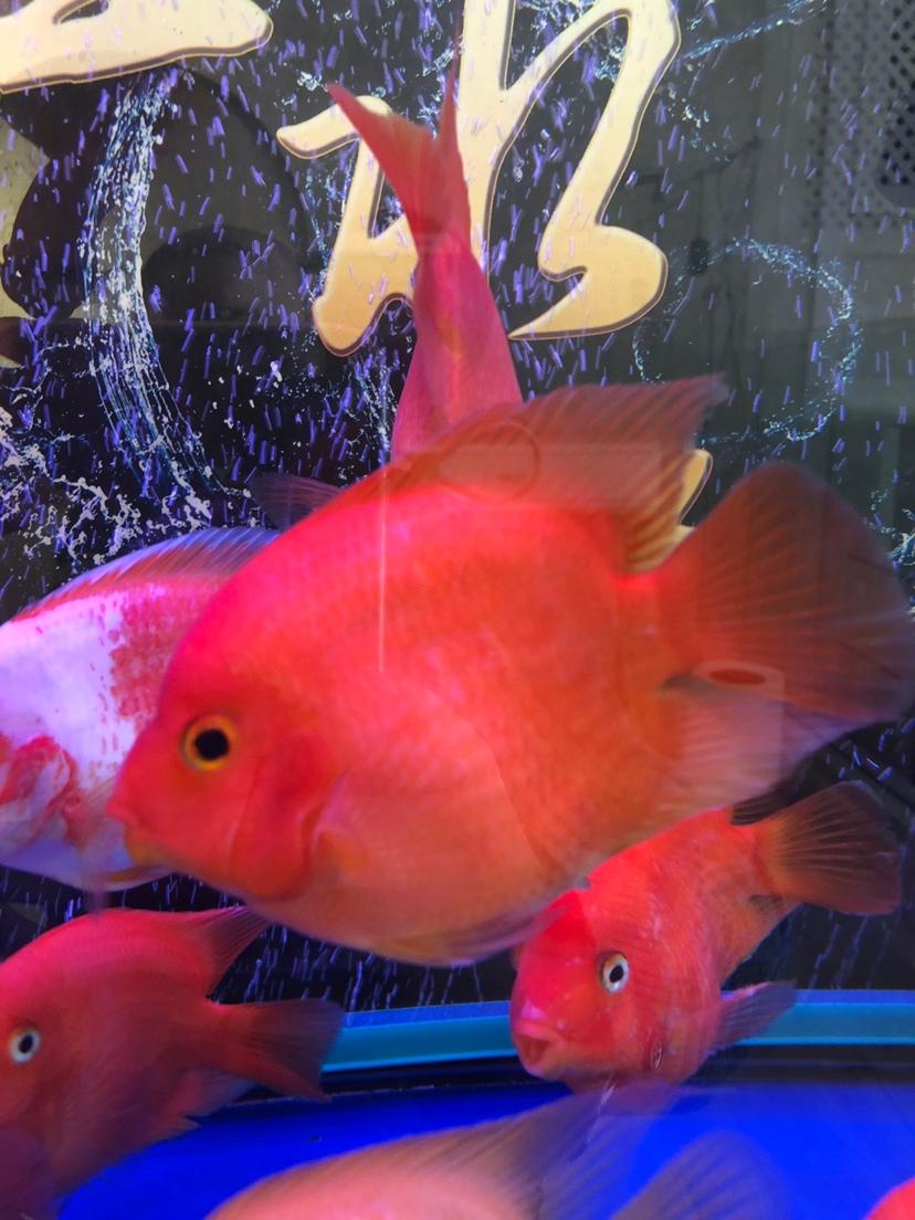 帮忙鉴定鹦鹉鱼品种 西安龙鱼论坛 西安博特第4张