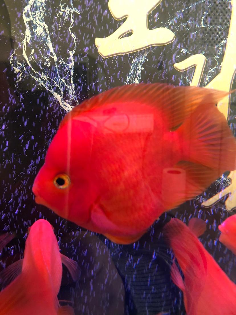 帮忙鉴定鹦鹉鱼品种 西安龙鱼论坛 西安博特第6张