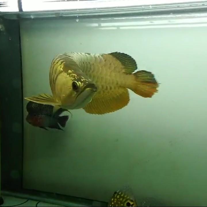 【西安黄金鼠鱼】就算是三无产品的你依然阻挡不了属于你的美 西安龙鱼论坛 西安博特第2张