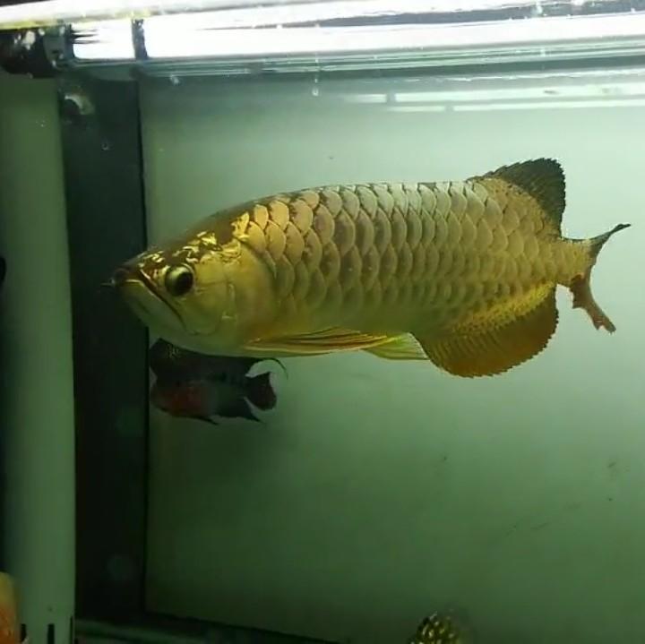 【西安黄金鼠鱼】就算是三无产品的你依然阻挡不了属于你的美 西安龙鱼论坛 西安博特第5张