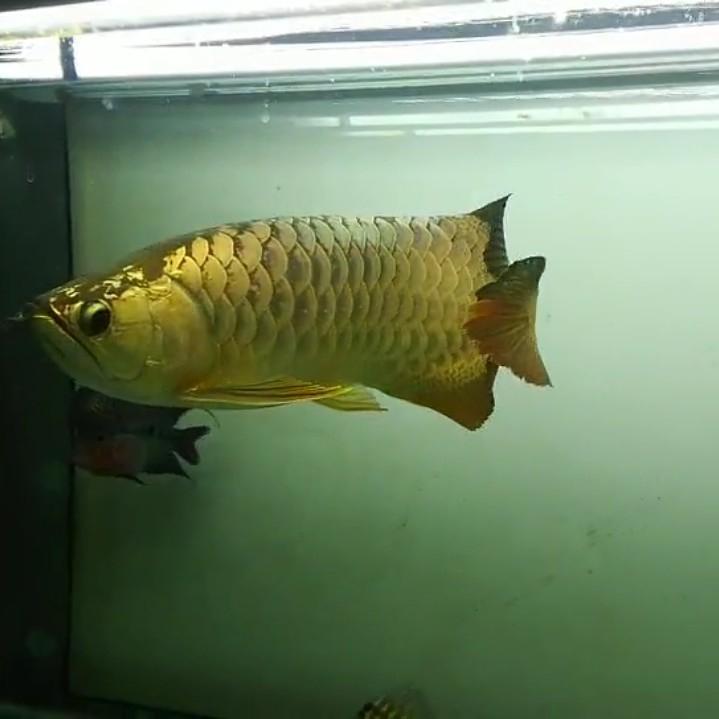 【西安黄金鼠鱼】就算是三无产品的你依然阻挡不了属于你的美 西安龙鱼论坛 西安博特第4张
