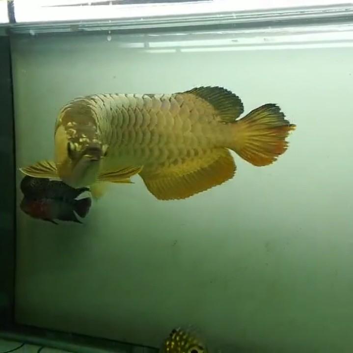 【西安黄金鼠鱼】就算是三无产品的你依然阻挡不了属于你的美 西安龙鱼论坛 西安博特第3张