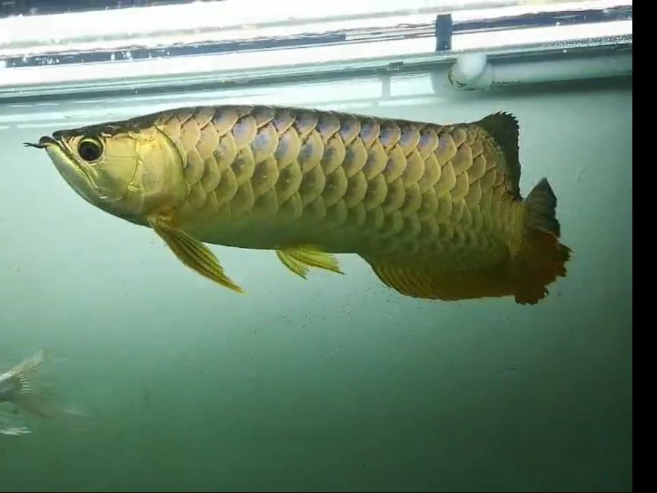 【西安黄金鼠鱼】就算是三无产品的你依然阻挡不了属于你的美 西安龙鱼论坛 西安博特第6张