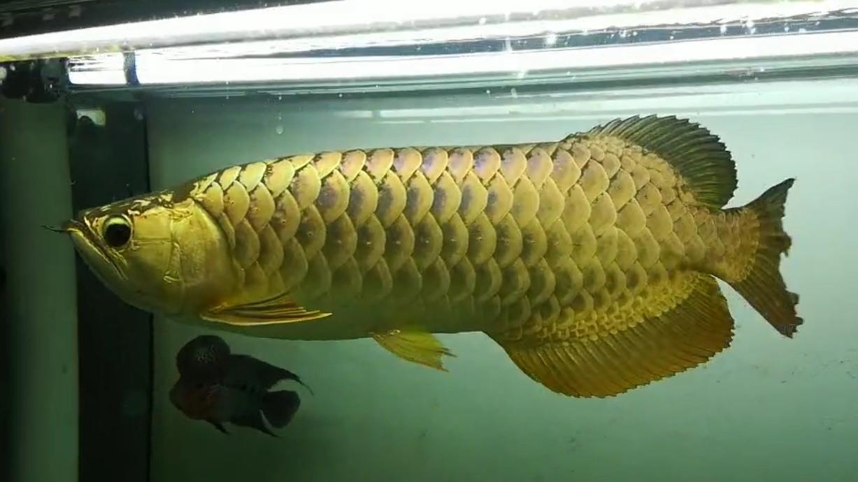 【西安黄金鼠鱼】就算是三无产品的你依然阻挡不了属于你的美 西安龙鱼论坛 西安博特第7张