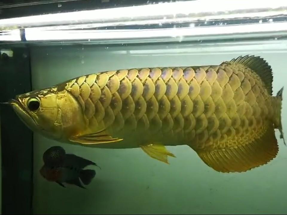 【西安黄金鼠鱼】就算是三无产品的你依然阻挡不了属于你的美 西安龙鱼论坛 西安博特第9张