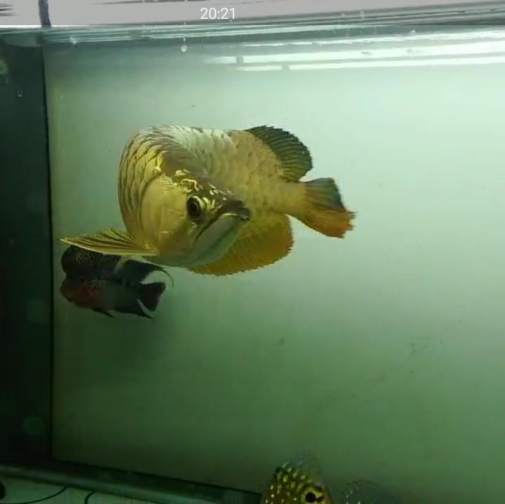 【西安黄金鼠鱼】就算是三无产品的你依然阻挡不了属于你的美 西安龙鱼论坛 西安博特第8张