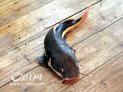 我又回来了 西安观赏鱼信息