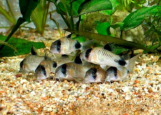【西安细线银板批发】没说啥 西安观赏鱼信息 西安博特第2张