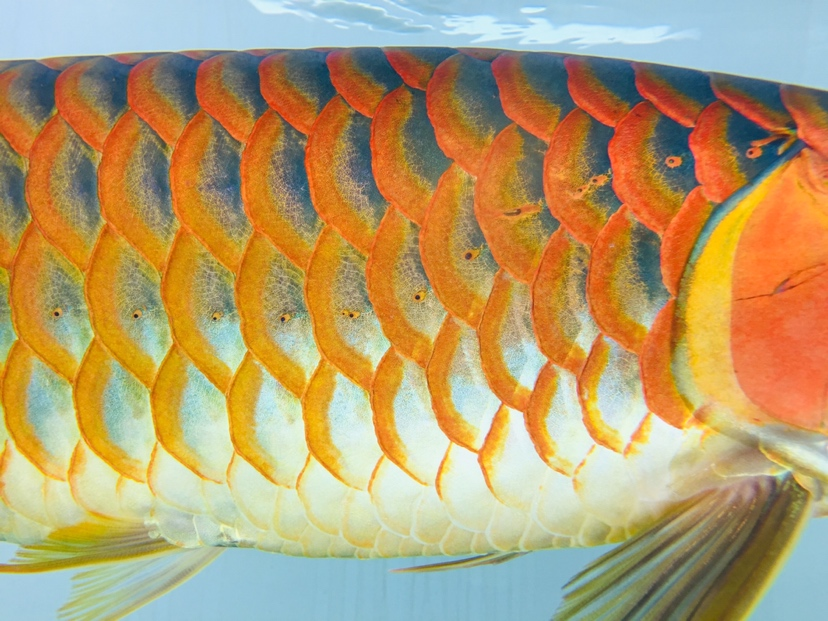 一年多的鱼貌似发色不错 西安观赏鱼信息 西安博特第2张