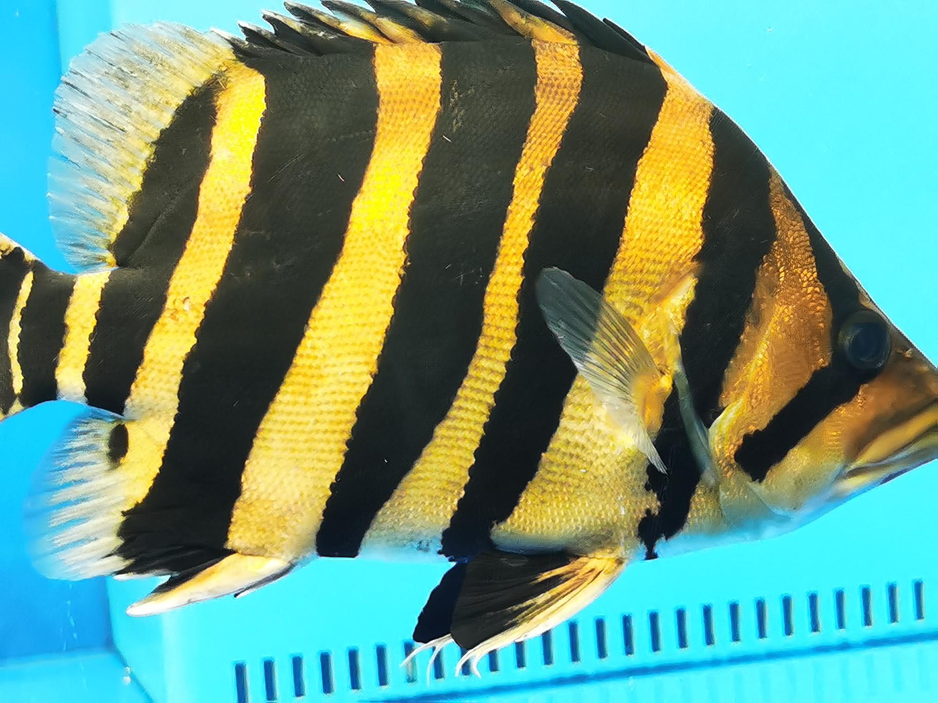 虎虎虎 西安观赏鱼信息 西安博特第3张