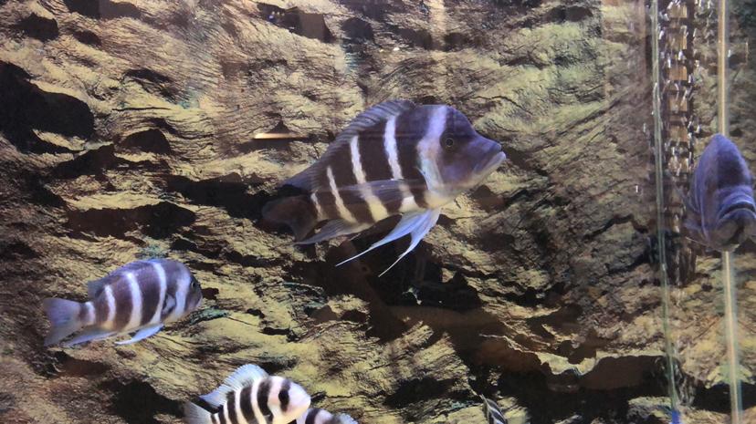 【西安祥龙至尊红龙】萨伊蓝公咬母 西安观赏鱼信息 西安博特第2张